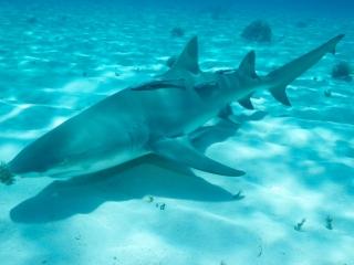 Lemon shark over sand 5 (dig)-Tiger Beach, Grand Bahama Island