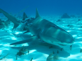 Lemon shark over sand 8 (dig)-Tiger Beach, Grand Bahama Island