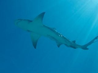 Lemon shark & sun rays (dig)-Tiger Beach, Grand Bahama Island