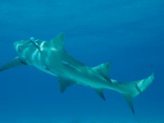 Lemon shark turning (dig)-Tiger Beach, Grand Bahama Island