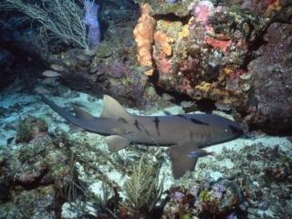 Nurse shark-Grenada