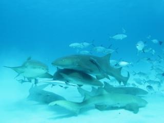 Nurse sharks (dig)-Bimini