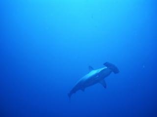 Scalloped hammerhead shark-Cocos Island