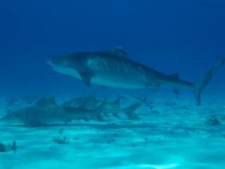 Tiger & Lemon sharks 1 (dig)-Tiger Beach, Grand Bahama Island