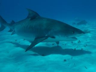 Tiger shark 1 (dig)-Tiger Beach, Grand Bahama Island
