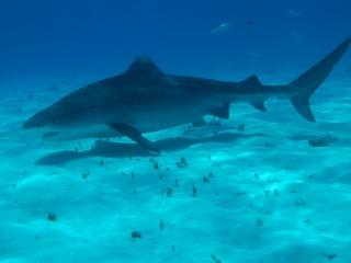 Tiger shark 10 (dig)-Tiger Beach, Grand Bahama Island