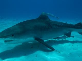 Tiger shark 11 (dig)-Tiger Beach, Grand Bahama Island