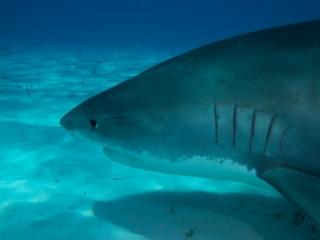 Tiger shark 13 (dig)-Tiger Beach, Grand Bahama Island