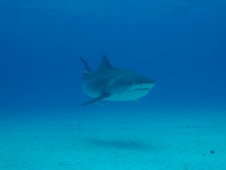 Tiger shark 14 (dig)-Tiger Beach, Grand Bahama Island (1)