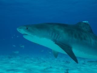 Tiger shark 5 (dig)-Tiger Beach, Grand Bahama Island
