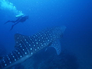 Whale shark & diver near bottom-Richelieu Rock, Thailand