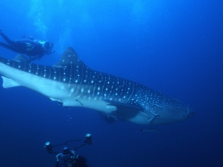Whale shark & divers-Richelieu Rock