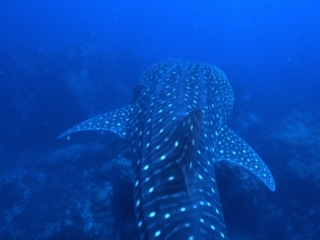 Whale shark dorsal view-Richelieu Rock