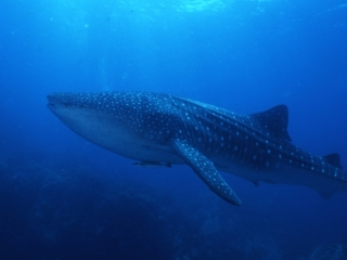 Whale shark near reef-Richelieu Rock, Thailand