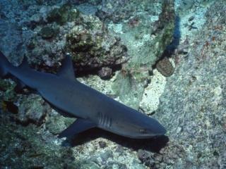 Whitetip reef shark-Cocos Island