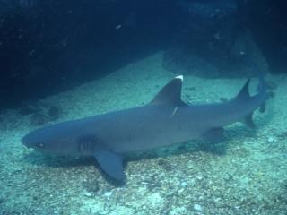Whitetip shark-Galapagos