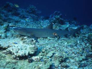 Whitetip shark-Sipadan Island, Borneo