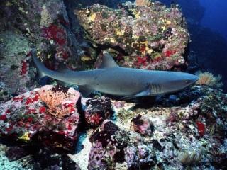 Whitetip shark on ledge-Cocos Island