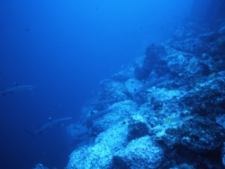 Whitetip sharks on the move-Cocos Island