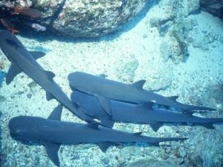 Whitetip sharks resting-Cocos Island