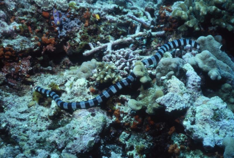 Banded sea krait-Kavieng, New Guinea