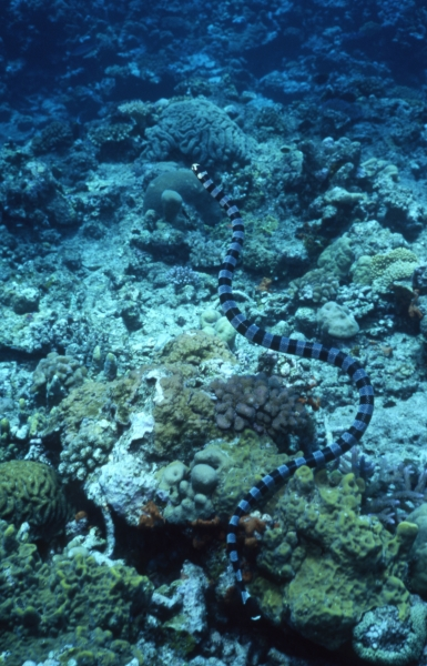 Banded sea krait-Papua New Guinea