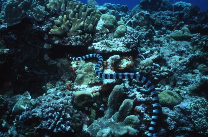 Banded sea krait & corals-Kavieng, Papua New Guinea