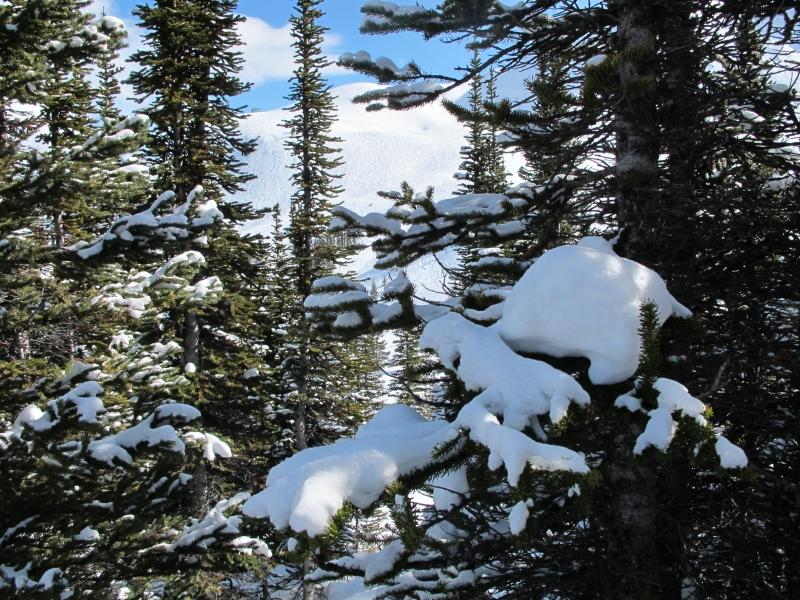 Snow-covered conifers (dig)-Marmot Basin, Jasper