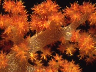 Bladed soft coral-Beqa Lagoon