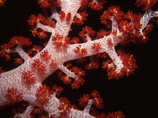 Bladed soft coral-Kavieng, Papua New Guinea