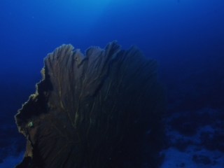 Gigantus gorgonus sea fan-Coral Sea