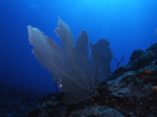 Sea fan with Flamingo tongue-Saba