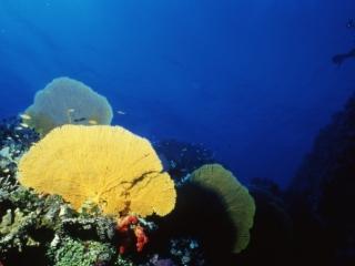 Sea fans & diver-Coral Sea, Australia