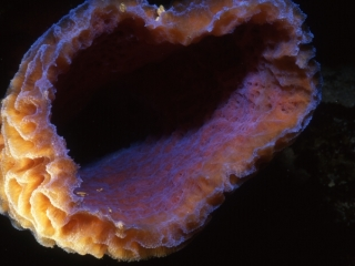 Iridescent tube sponge-Belize
