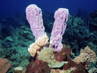 Purple tube sponge-St. Kitts