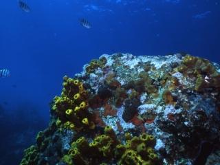 Tube & Encrusting sponges-Saba