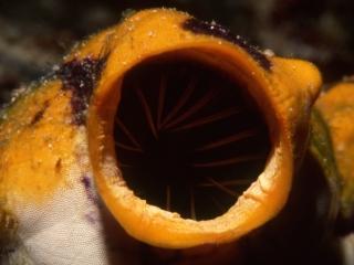 Sea squirt siphon-Australia