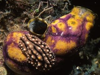 Tunicate & Phyllidia nudibranch-Kavieng, Papua New Guinea