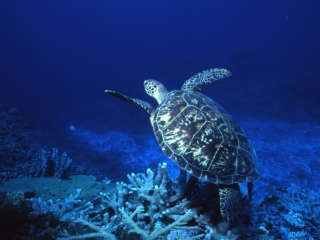 Green turtle-Coral Sea, Australia
