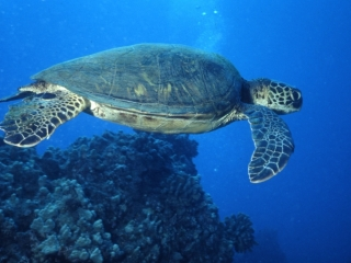 Green turtle-Maui, Hawaii