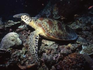 Green turtle-Sipadan Island, Borneo