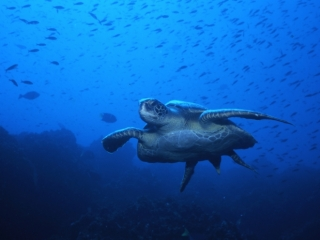 Green turtle-Wolf Island, Galapagos