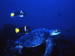 Green turtle & angelfish-Galapagos