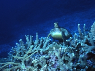 Green turtle looking up from hard coral-Australia