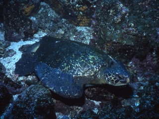 Green turtle resting-Galapagos