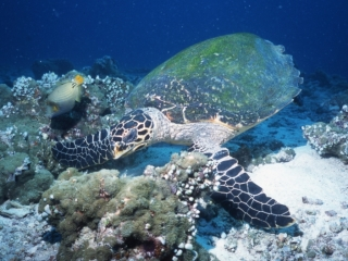 Green turtle seeking a meal-Maldives