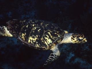 Hawksbill turtle-Belize