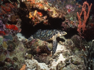 Hawksbill turtle-Bequia, Grenadines
