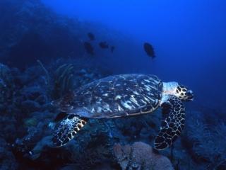 Hawksbill turtle & Black durgons-Saba