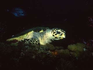 Hawksbill turtle-Coral Sea